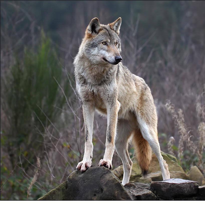Civico20 news regione piemonte emergenza lupo occorre - La pagina della colorazione delle pecore smarrite ...